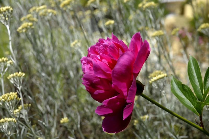 Pivoine, fleur du parc d'hôtes en Bretagne