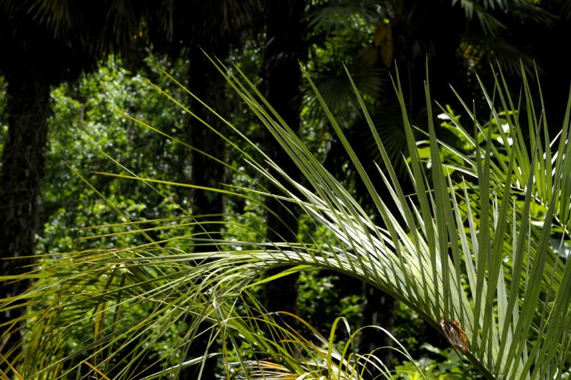 Palmier en Bretagne pour parc de notre chambre d'hôtes de charme
