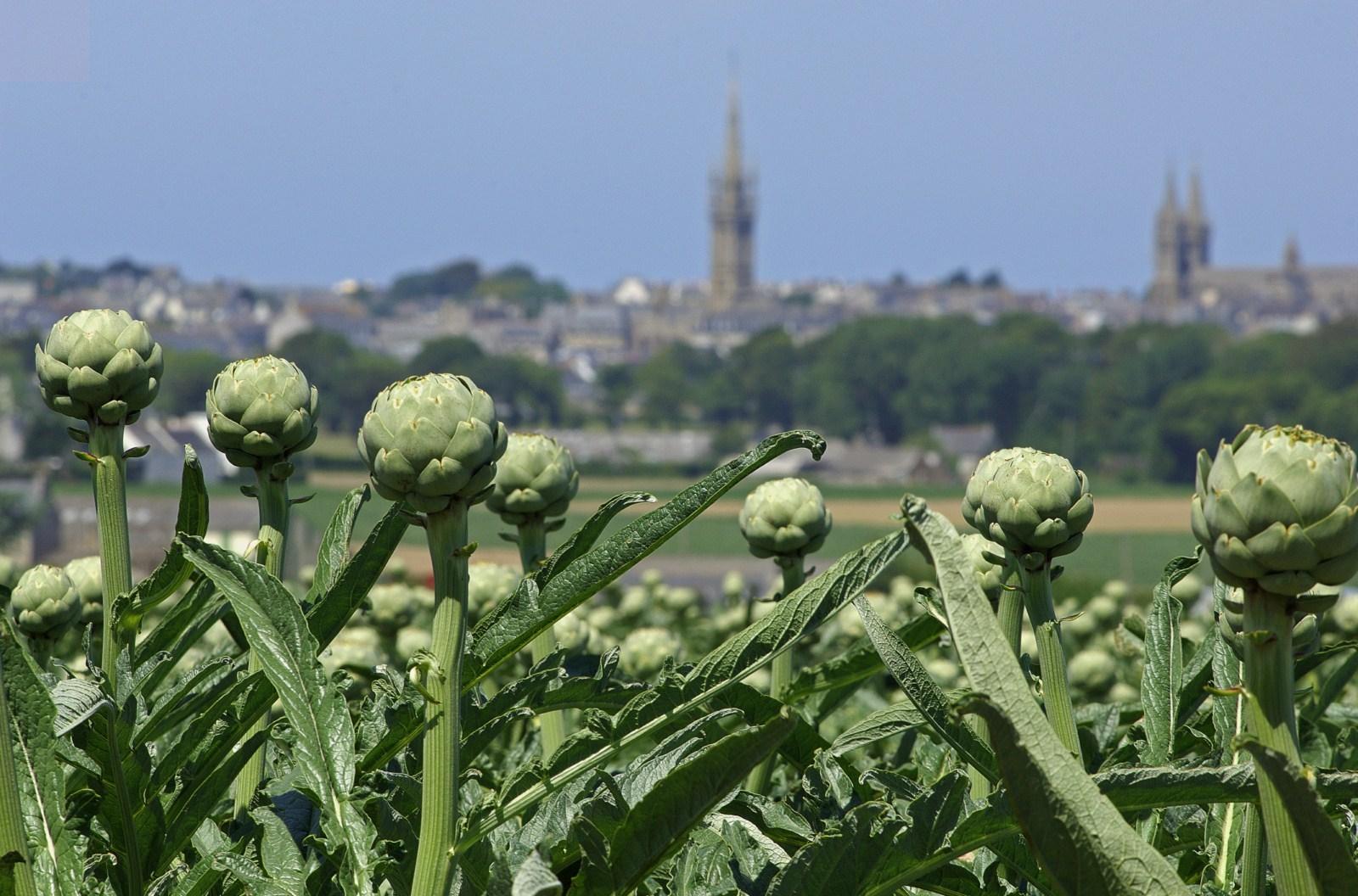 L'artichaut est un produit de l'agriculture du Finistère
